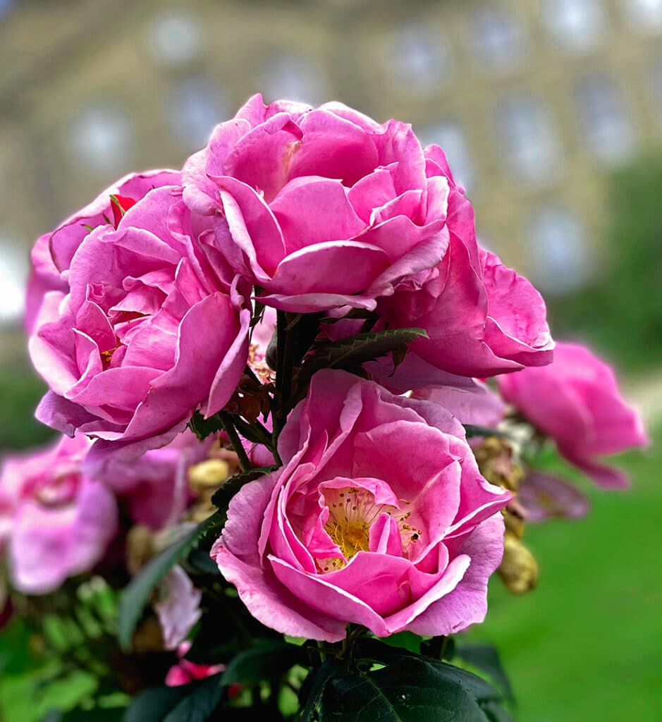 A close up of our beautiful pink roses